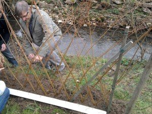 osier a planté osier vivant osier pour jardin vannerie.osier@wanadoo.fr